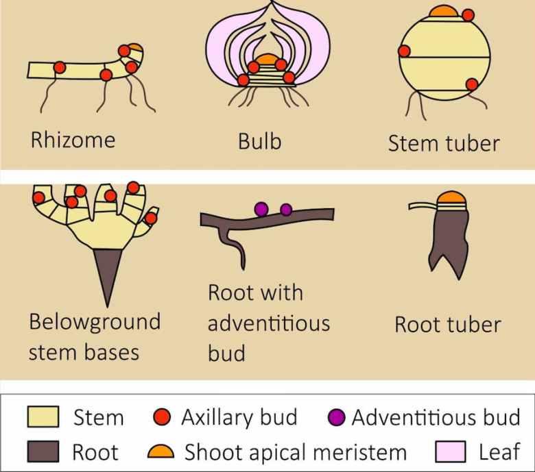 Locations of buds underground