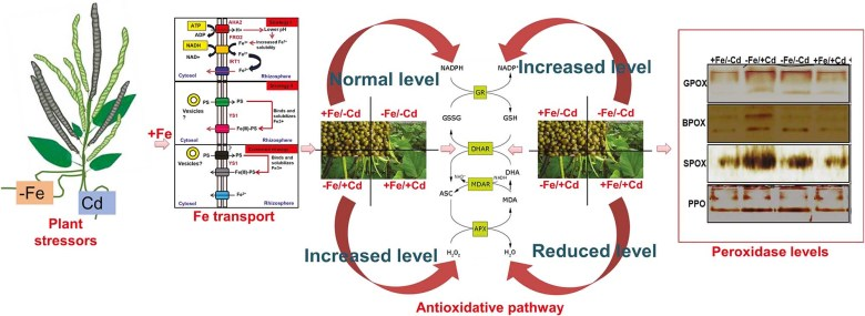 role of iron supply in amelioration of cadmium stress