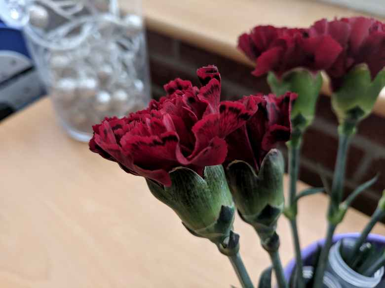 Red carnations with black lining around the edges