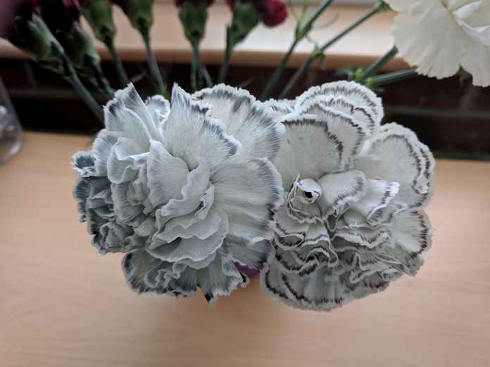 White carnations with black lining around the edges