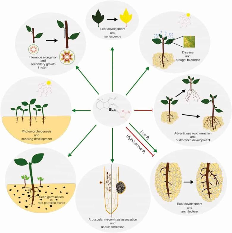 Roles of strigolactones
