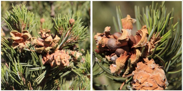 Pine cones on the studied trees