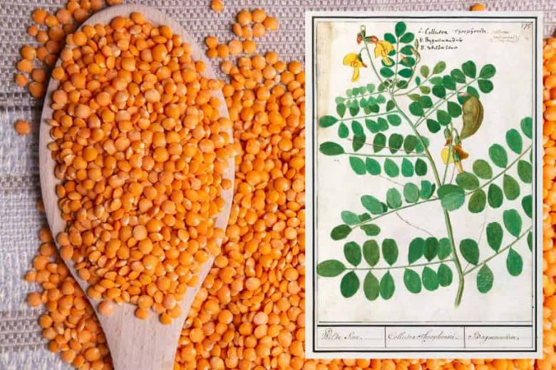 Orange lentils on a wooden spoon with lentils scattered over a tablecloth. An inset is an old botanical illustration of a lentil plant.