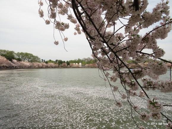More Cherry Blossom.