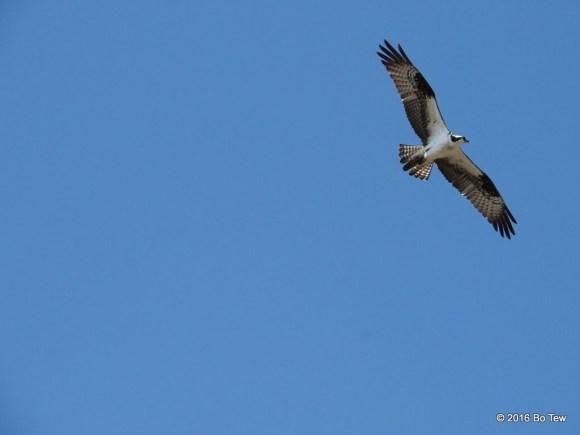 Osprey just flying around.