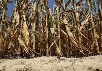 culturi afectate seceta