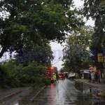 copac cazut pe Puskin- Botosani