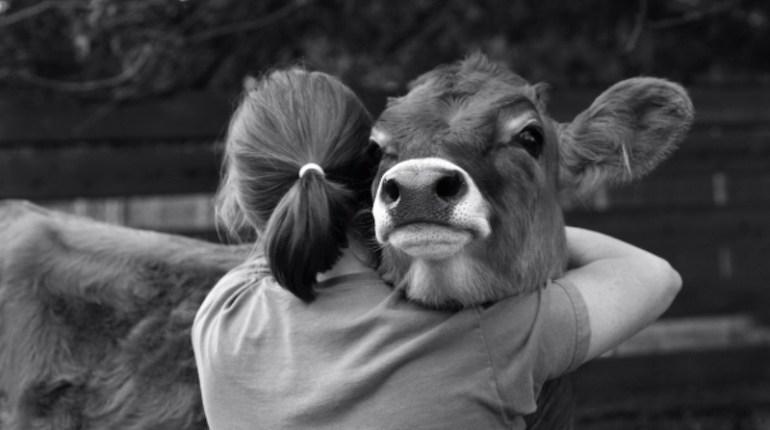 Hug vache