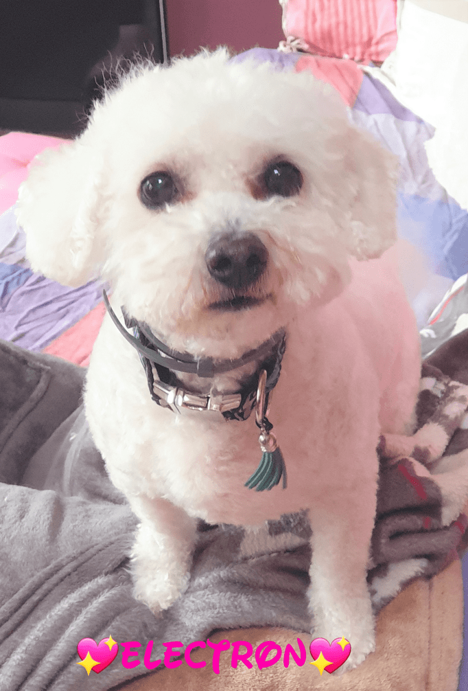You are currently viewing BICHON FRISÉ