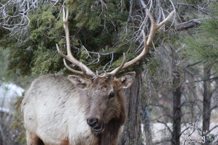 An elk visiting our campsite at Grand Canyon National Park