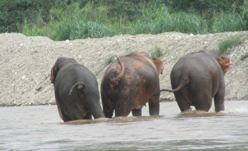 Bathing Elephant in the Mae Taeng River at the Elephant Nature Park
