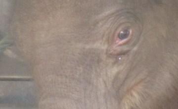 Baby Elephant Navann at Elephant Nature Park