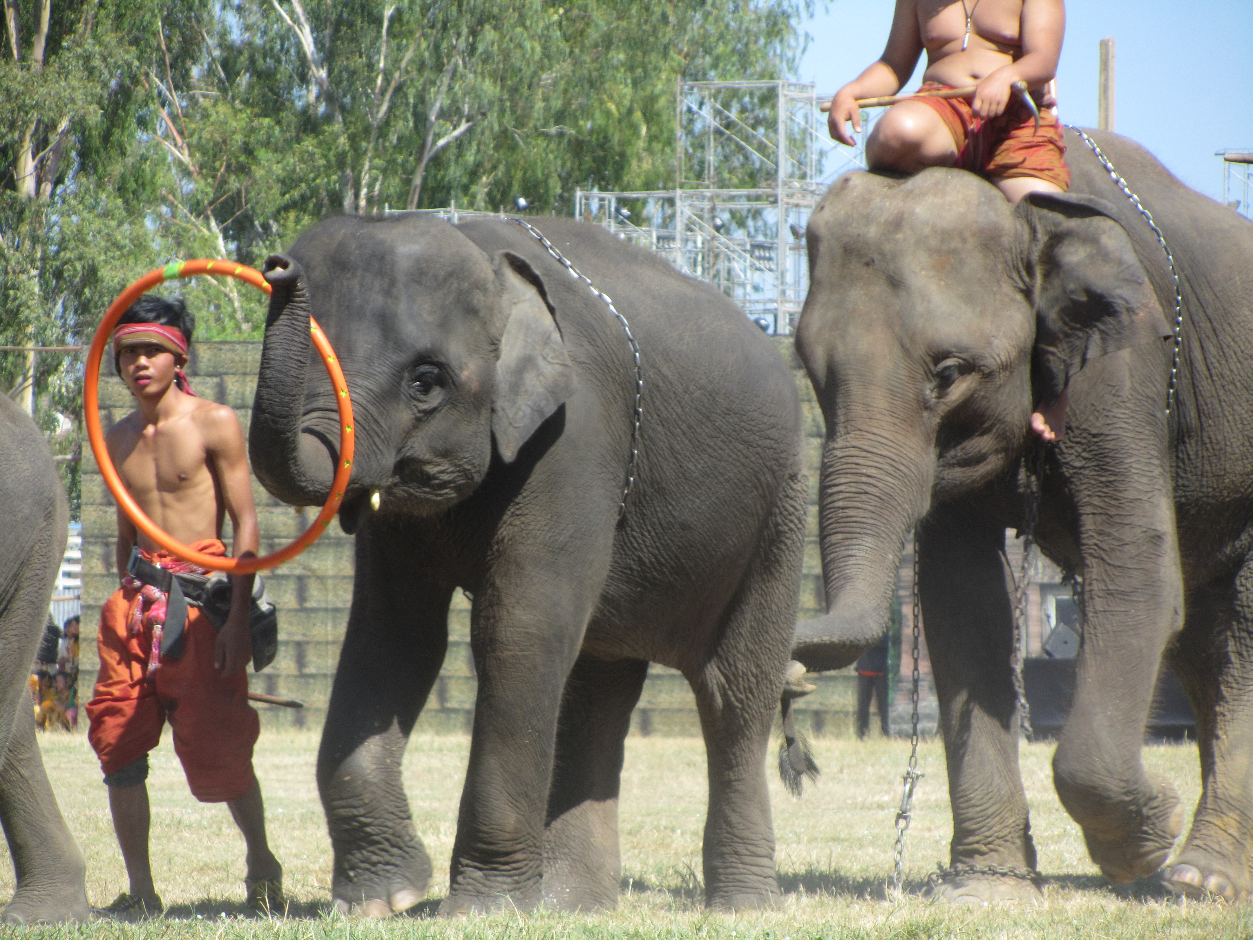 Two chained elephants forced to perform at Surin Elephant Roundup