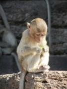 Monkey sitting in Lopburi