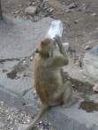 Monkey in Lopburi drinking from water bottle