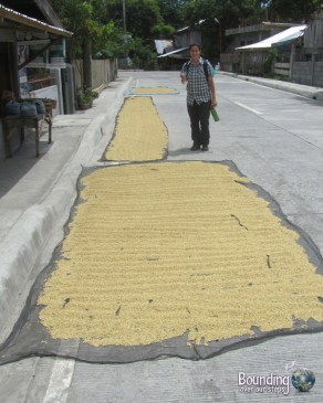 Walking through Donsol, Philippines seeing rice drying on the road