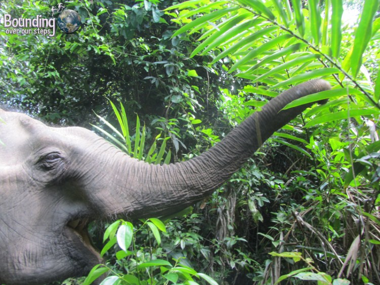 Kham Lin reaching for tasty treats in the jungle on her elephant walk