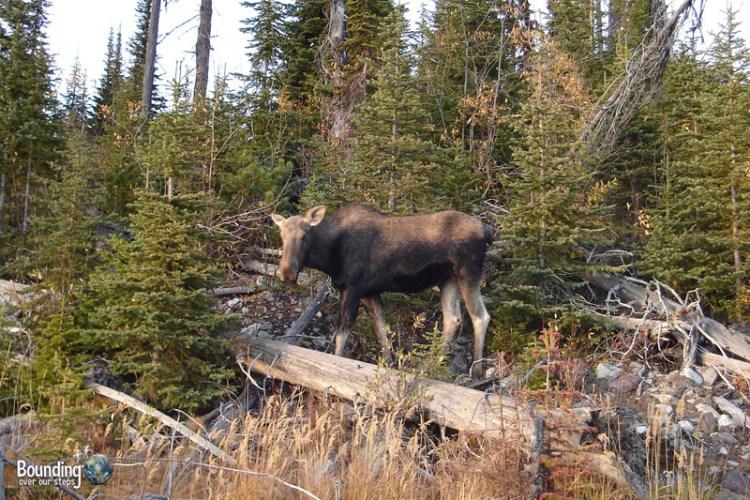 Female moose in Golden, British Columbia
