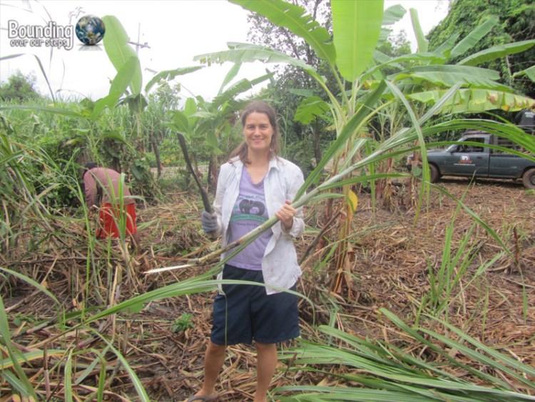 Surin Project - Cutting Sugar Cane
