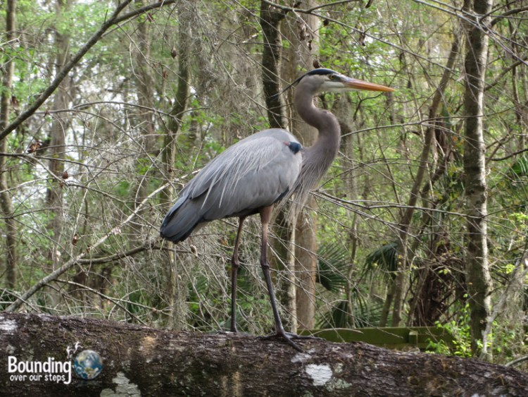 Canoeing Hillsborough River - Heron Close Up