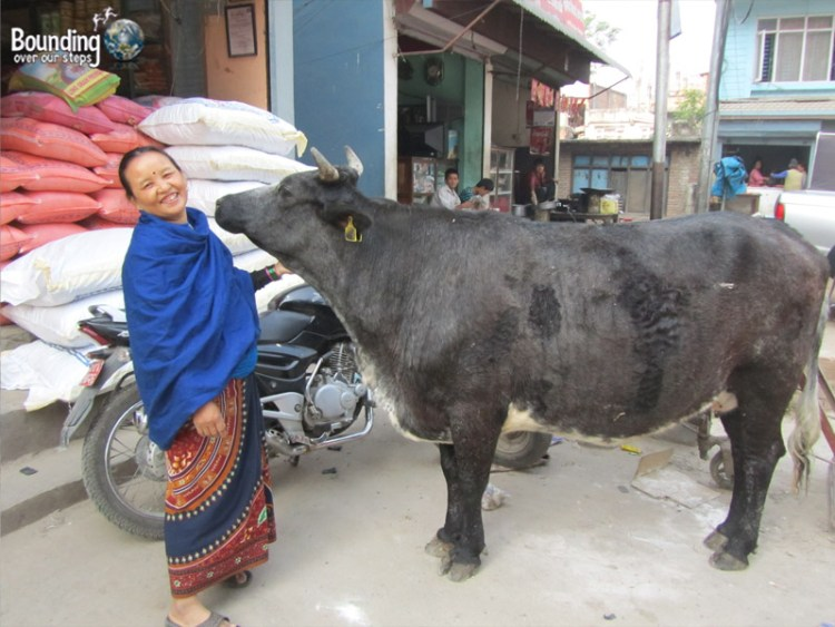 People of Nepal - Woman with Cow