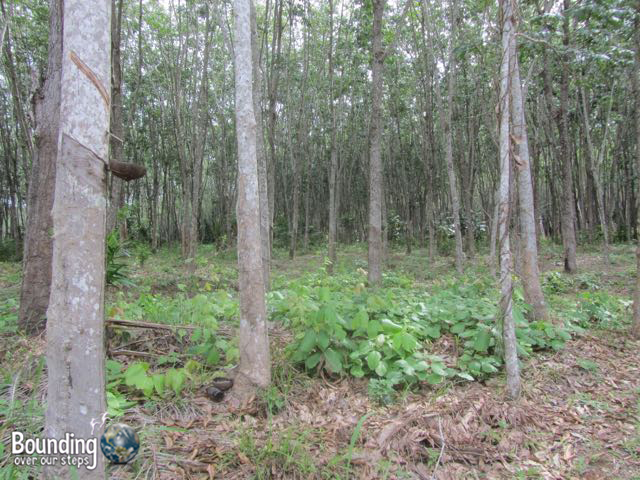Things to do in Koh Lanta - Rubber Trees