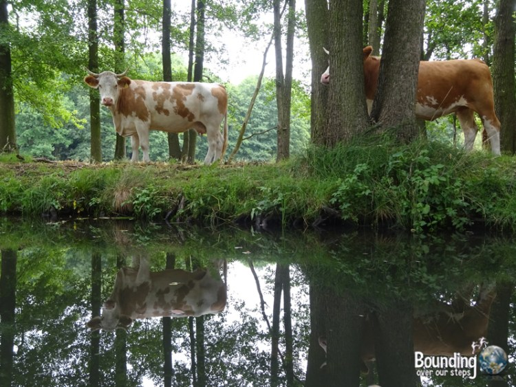 Things to do in Berlin - Spreewald - Cows