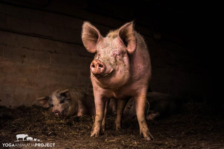 Jasmine, The Pig Preserve