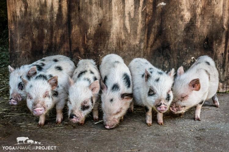 Savannah Piglets, Rooterville, A Sanctuary