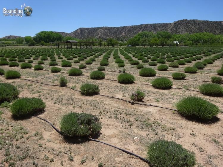 Vegan in Northern New Mexico - Purple Adobe Lavender Farm