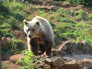 Vegan in Croatia - Kuterovo Bear Rescue - Bear Walking