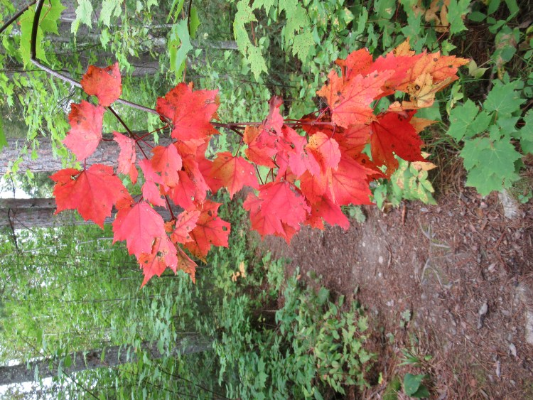 Leaves already turning red in the Boundary Waters Canoe Area (BWCA)