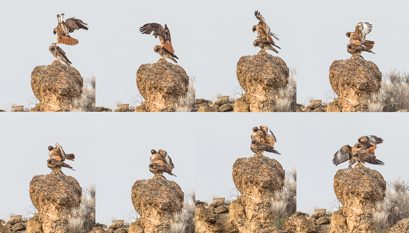 Red Tailed Hawks mating at Smith Rock State Park, Terrebonne, Oregon.