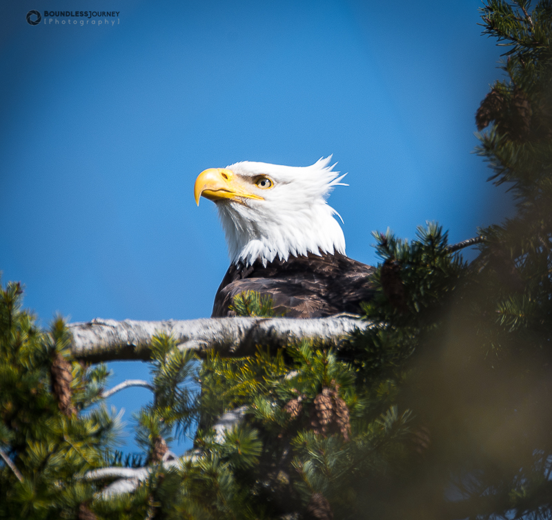 Adult bald eagle on perched on a tree on Bainbridge Island, Washington.Boundless Journey