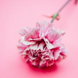 un clavel con petalos rosas y blancas de la variedad antique