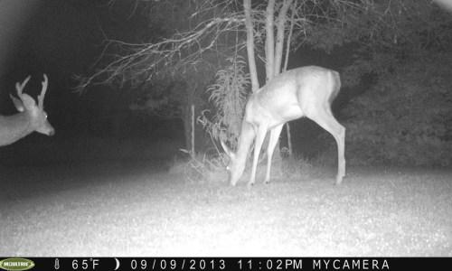 Odd Deer 9/11/13