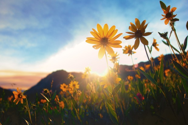 Alta, UT Sunflowers