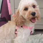 pretty pink harness