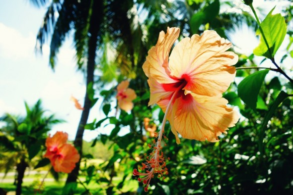 Langkawi hibiscus flower_effected