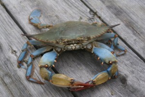 Blue Crabs: Are they Healthy? - Boxhill Crabcakes