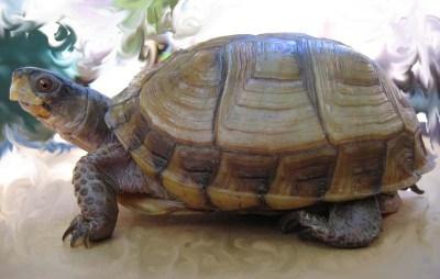 Three-toed box turtle pet