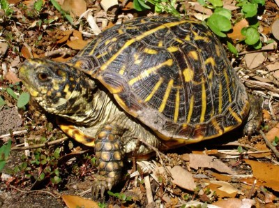 Terrapene ornata ornata, Ornate Box Turtle
