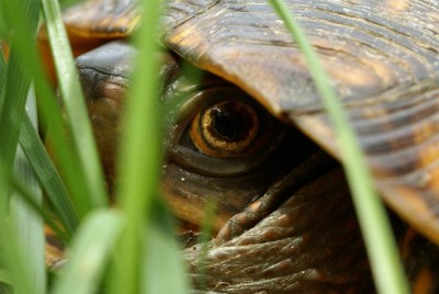 This guy says hibernating box turtles inside takes a little creativity