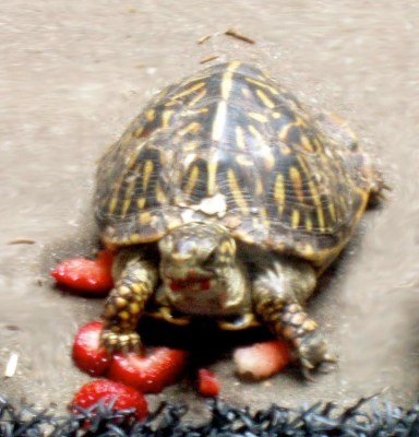 Box turtle eating strawberries; sometimes berries can help if your box turtle won't eat