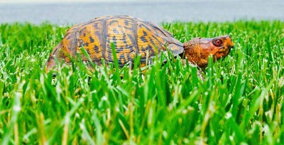 Box turtle moving on and moving up ... kind of like Box Turtle World's new blog!