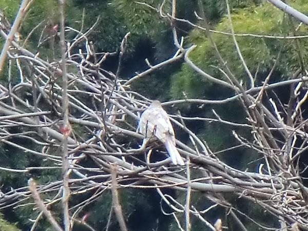 白いヒヨドリ