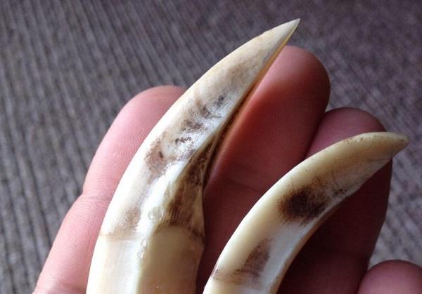 猪の牙(拾い物画像)