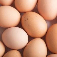 命のお話。採卵用品種(白色レグホン)のオスひよこが辿る運命