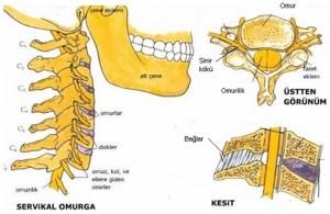 Boyun Anatomisi