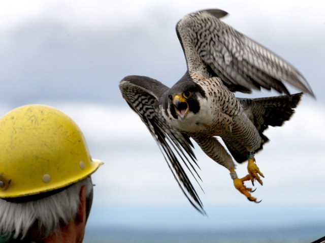 An angry peregrine falcon swopes over the head of Tom French as he returns her chicks to their rooftop box on the eighteen story Fox Hall at U-Mass Lowell in Lowell, Mass. June 2, 2015.  The chicks had just been banded.  French is an assistant director of Mass. Fish and Wildlife.